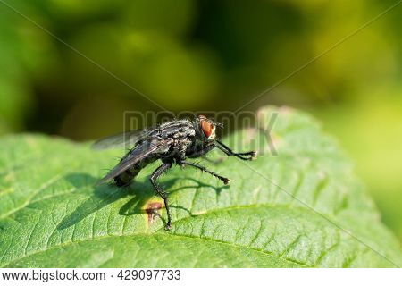 Common Fly On A Green Blade Of Grass, Macro. A Small Common Housefly Insect Sitting On A Green Blade