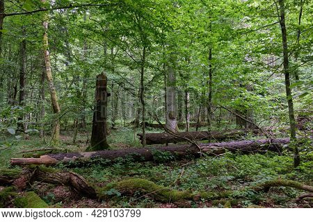 Summertime Deciduous Forest With Broken Dead Tree Partly Declined In Foreground, Bialowieza Forest,p