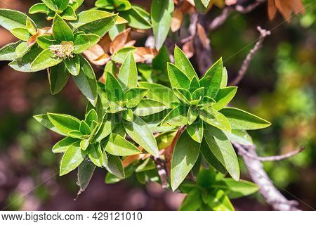 Shrub With Sharp Narrow Leaves In The Garden.