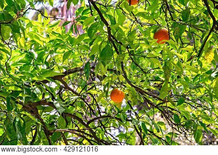 Green Tree With The Oranges In The Garden.