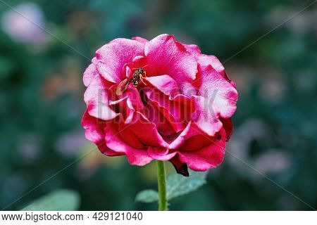 Beautiful Red Blooming Rose With A Wasp In The Garden.