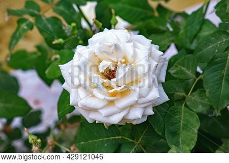 Beautiful White Blooming Rose In The Garden.