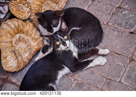Black And White Street Cats In Medina Of Marrakesh. Morocco