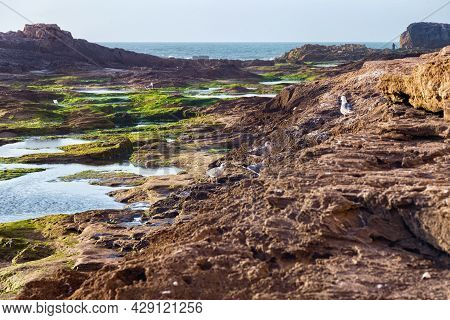 View Of The Volcanic Shore Of The Atlantic Ocean In The Area Of Essaouira In Morocco In The Low Tide