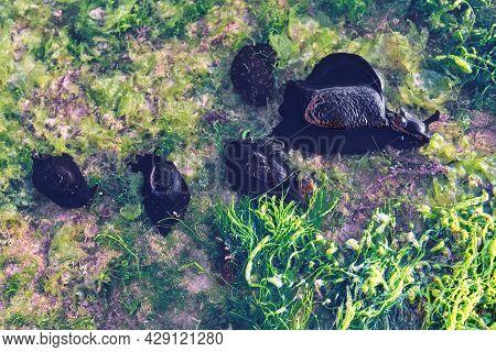 Large Sea Slugs (aplysia Fasciata, Common Name The Mottled Sea Hare Or The Sooty Sea Hare) In The Pu