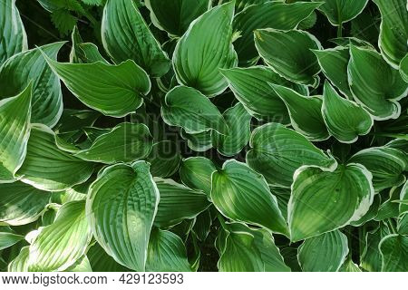 Green Leaves Background. Eco Wallpaper, Foliage Background. Outdoor Leaf Texture