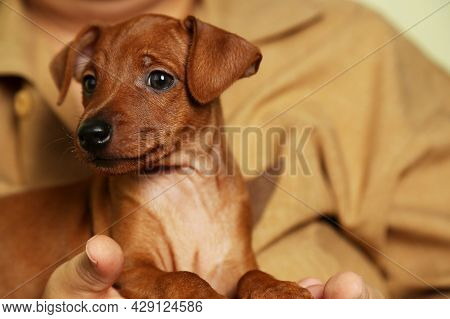 Mini Pinscher Puppy Boy Is Sitting On The Hands Of The Hostess. Caring Hands Caring For Animals.
