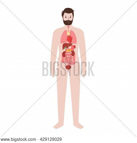 Internal Organs In Man Body. Lungs, Stomach, Heart, Kidney, Testicles And Other Organs Icon In Male