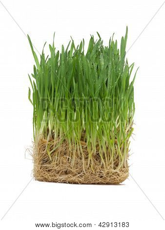 Cube Of Germinated Oat (grass)