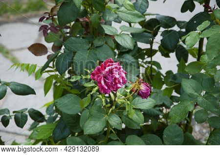 Beautiful Fresh Roses In Nature. Pink Tea Roses Bush In Garden. Summer Blooming Flower. Soft Flower