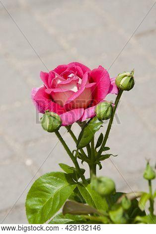Summer Blooming Flower. Soft Flower Petals. Macro Photography. Rose Garden In Spring. Pink Rose Bush