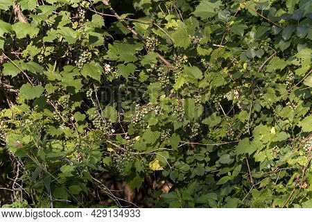 The  Riverbank Grape Or Frost Grape (vitis Riparia) Is A Vine Indigenous To North America