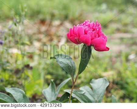 Peony, Flower, Plant, Medicinal.medicinal Plant Background.a Single Red Peony Grows In The Garden.