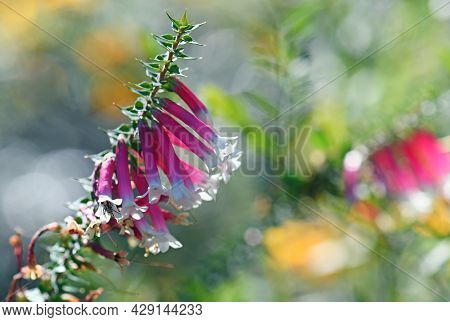Australian Wildflower Background Of Back Lit Pink, Red And White Bell-shaped Flowers Of The Australi