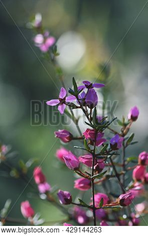 Backlit Pink Flowers And Buds Of Australian Native Boronia Ledifolia, Family Rutaceae. Growing In Sy