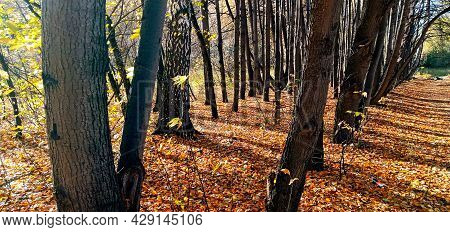 An Empty Leafy Alley In Autumn Park, Siberia, Russia. Autumn Wayside Trees. Dry Leaves Fallen On A F