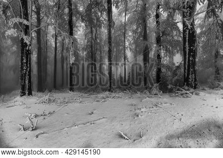 Winter Beech Forest With Fog In The Background
