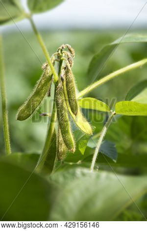 Soybean Pods On The Stem. Young Plant Of Varietal Soybean In The Field During Active Growth Of Crops