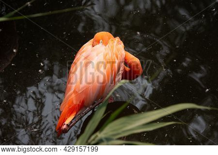 Beautiful Flamingo In The Zoological Park Of Granby, Province Of Quebec, Canada