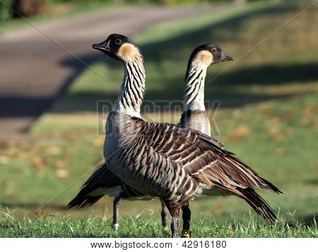 Pair of Endangered Hawaiin Geese (Nene)
