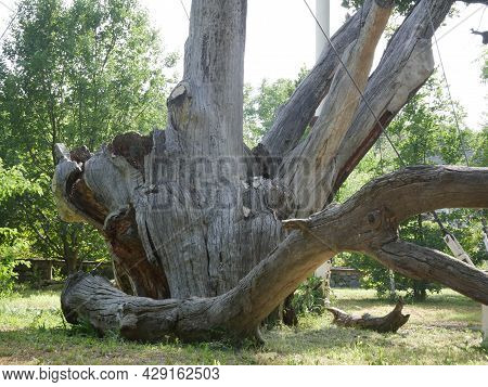Old Ancient Oak Tree In A Protected Area. A Close-up Of A Semi-living Oak That Gives Offspring.