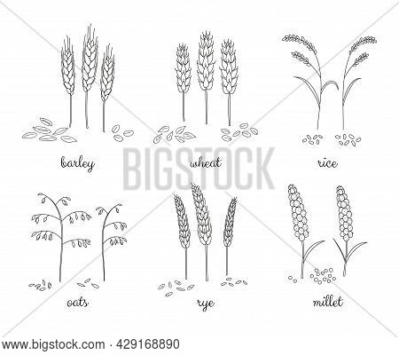 Hand Drawn Outline Cereals And Grains Isolated On White Background. Barley, Wheat, Rice, Oats, Rye,