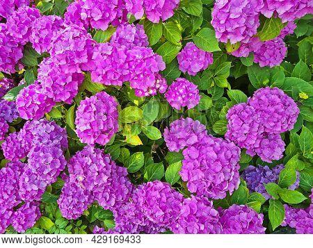 Purple hortensia flowers in summer