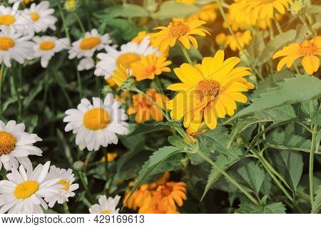 Big Flowers Daisies In The Green Grass. Field With Daisies.wild Flowers Growing On Meadow, White Cha