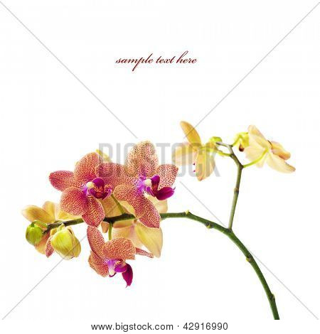 Orchid isolated on white background  (with easy removable sample text)