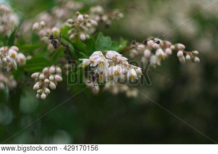 Fuzzy Deutzia Plena - Latin Name - Deutzia Scabra Plena