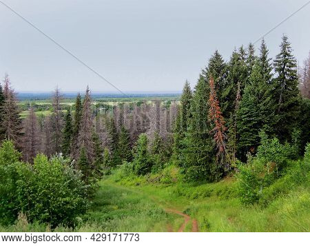 Trail Through Spruce Forest. Shot In Mari El Republic, Russia