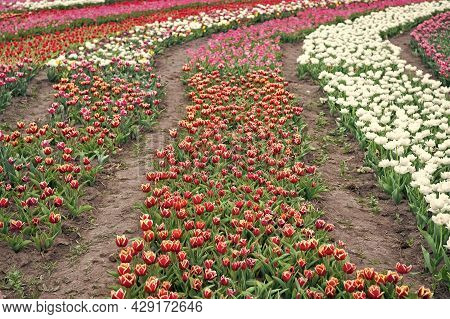 Soils And Fertilizers. Flowers In Field. Landscape Of Netherlands Tulips. Spring Season Travel. Colo
