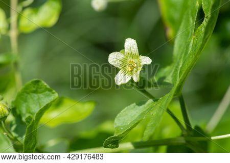 White Bryony (bryonia Alba) Flower