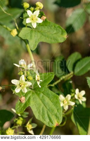 White Bryony (bryonia Alba) Flowers