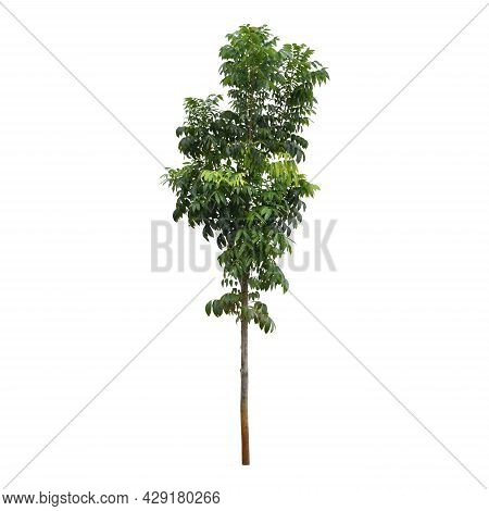 Clipping Path. Close Up Of Green Tree Isolated On White Background View. Image Tree View. Cut Out. F