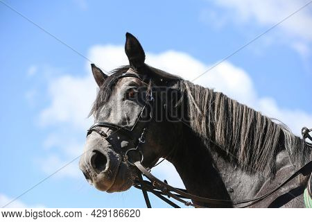 Side View Head Shot Close Up Of A Gray Show Jumper Horse Stallion Against Natural Background