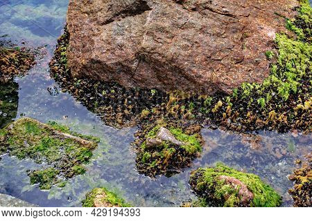 Black Sea Mussels Grow Around Stones In The Water - Top View. Natural Texture Of Red-brown Rock, Bla