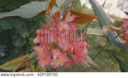 Beautiful Pink Flowers In Garden. Action. Flowering Plant With Bunches Of Pink Flowers. Beautiful Pl
