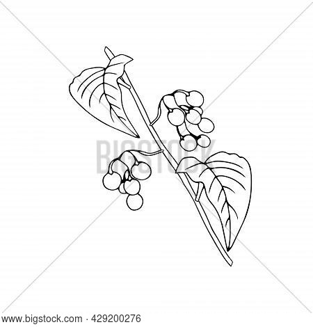 Black Outline Hand Drawing Vector Illustration Of A Nightshade Plant With Fruits Isolated On A White