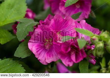 Closeup Of Pink Lavatera Hybrida Tree Mallow Flowers In Summer Garden