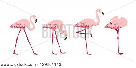 Pink Flamingo Set. Standing Flamingos In Different Poses Isolated On White Background. Birds Cartoon