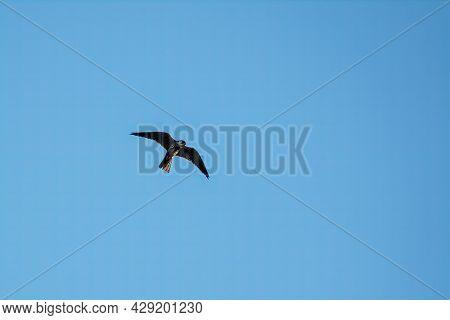 Predatory Bird Eurasian Hobby Or Falco Subbuteo Flies In Blue Sky. The Eurasian Hobby , Falco Subbut