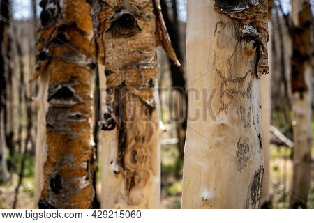 Bare Trunk Of Aspen With Lost Bark In Great Basin Forest