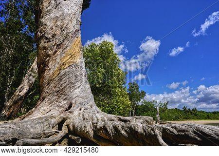 Gum Trees Or Melaleuca Trees On The Shore Line Near Cairns North Queensland Australia