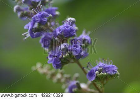 Chaste Tree Flowers. Lamiaceae Deciduous Shrub.herb.