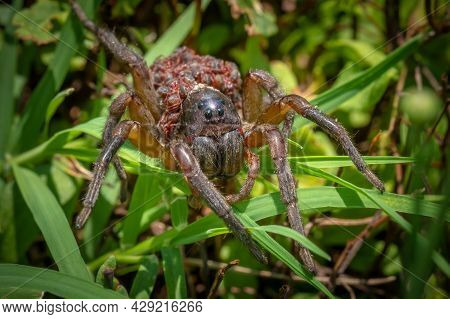 Front View Of A Large Mother Wolf Spider Carrying Dozones Of Tiny Babies On Her Back. Summer In Rale