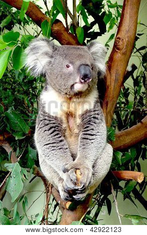 Koala sitting on a eucalyptus tree