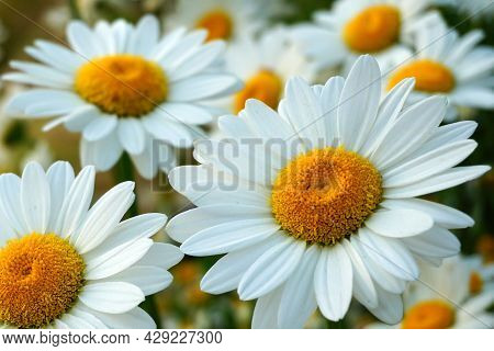 Meadow Of White Chamomile Flowers In The Morning Sun Close Up. Herbal Medicine.