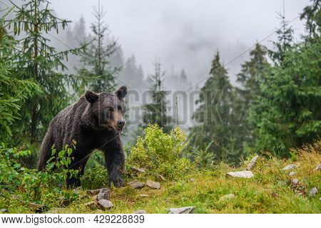 Wild Adult Brown Bear In The Mountain Summer Forest