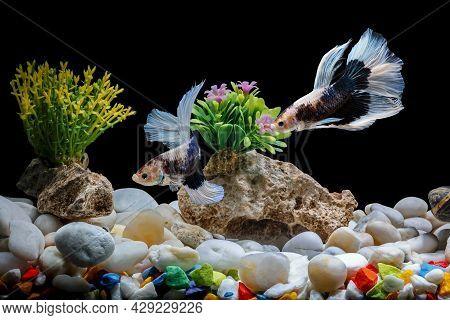 Siamese Fighting Fish,betta Splendens, 2 In A Betta Fish Tank, Black Background, Halfmoon Betta.